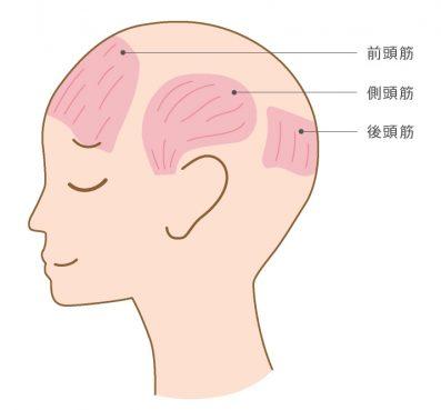 前頭筋、側頭筋、後頭筋 頭の筋肉