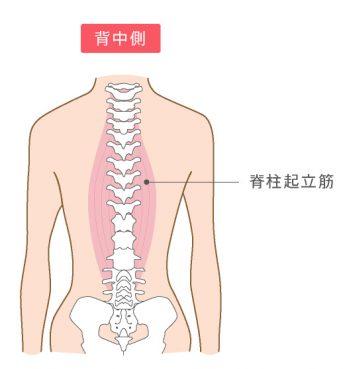 脊柱起立筋のイラスト