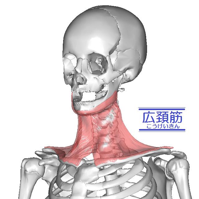広頚筋のイラスト