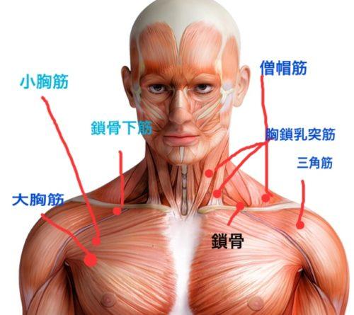小胸筋・鎖骨下筋のイラスト